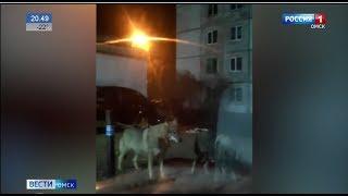 Стая волков надвигается на Омскую область