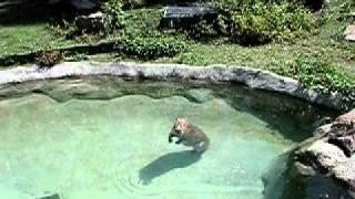 Swimming Capybaras At Santa Barbara Zoo