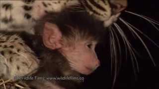Leopard ubio majmunicu, pa je ugledao njenu bebu… Sljedeći trenutak je nestvaran!