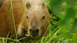 緑化を通り越しジャングル化したエリアに カピバラ家族突入 (Capybara in little jungle)