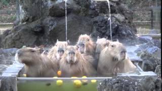 Capybaras soaking in an onsen (Japanese hot springs)