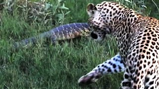 Monitor Lizard Tries To Give a Leopard a Slap - Latest Wildlife Sightings
