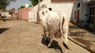 Desi cow for sell 8685999929,,9813499929