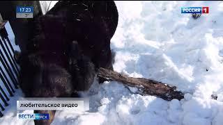 В Большереченском зоопарке вышел из спячки бурый медведь Кузя