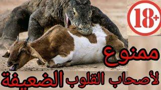 عندما يغضب تنين الكومودو..مشهد لا يصدق ! · عالم الحيوان