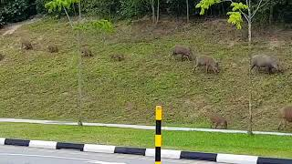 Family of wild boars taking a leisurely walk in Singapore