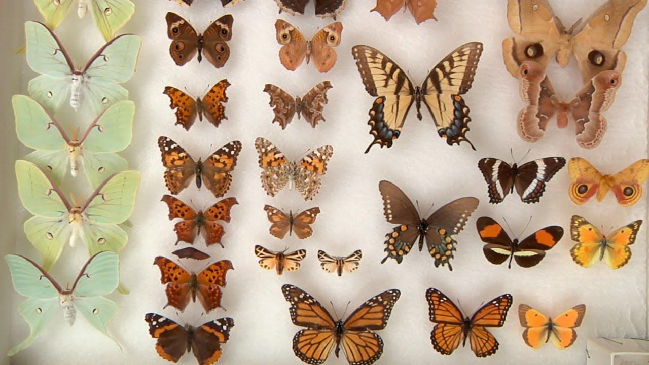 Moths vs Butterflies - YouTube - photo#14
