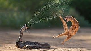 Amazing Snake Python King Cobra Big Battle In The Desert Mongoose | Amazing Attack of Animals