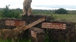 Lions of Nairobi National Park