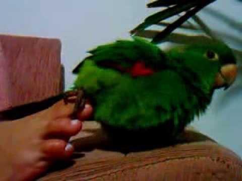 Baixar papagaio traçando o pé da dona