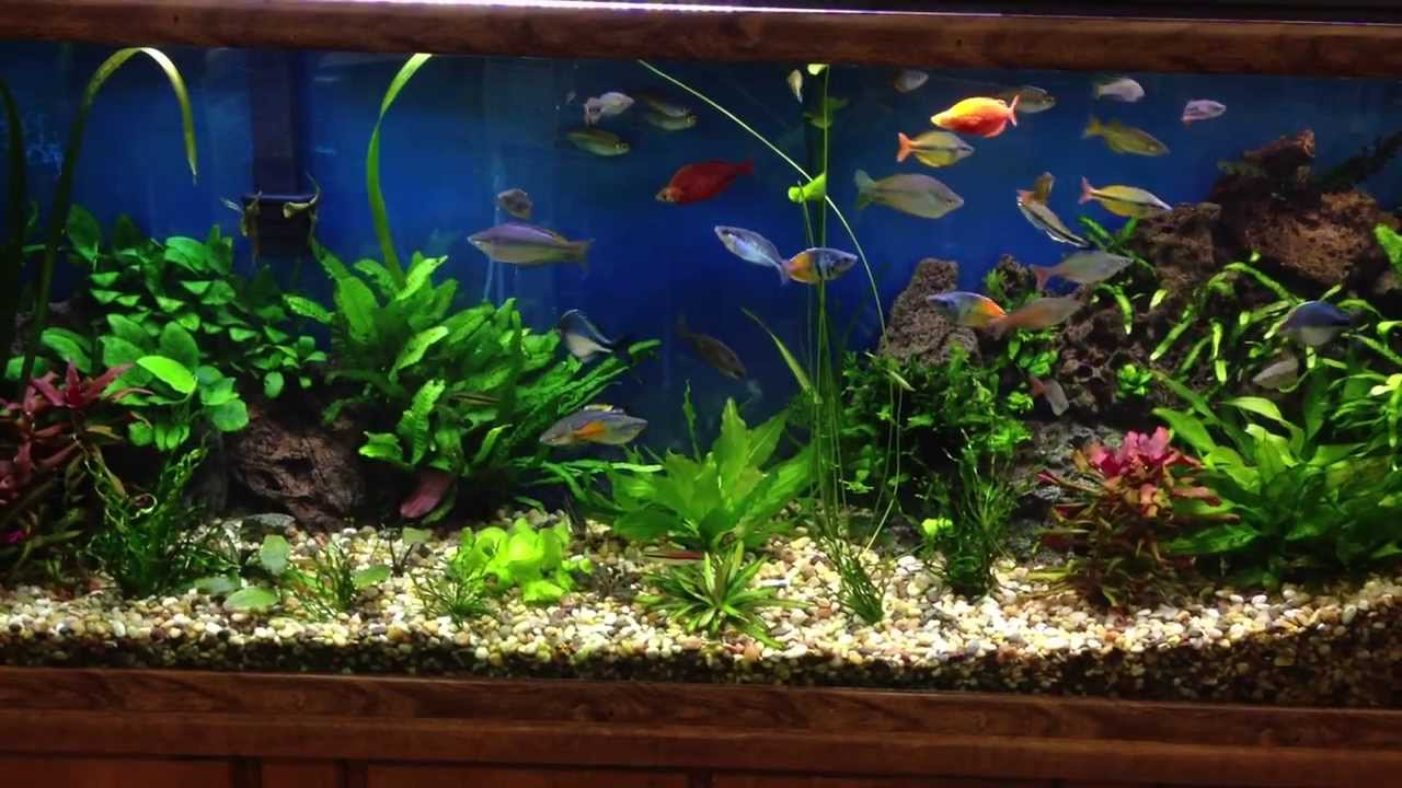 Rainbow fish in beautiful planted fresh water aquarium ...