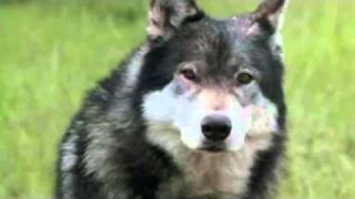 White Fang - GET OUTTA HERE!!!