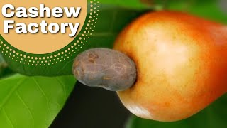 Ever wondered where cashew nuts come from?❤️️