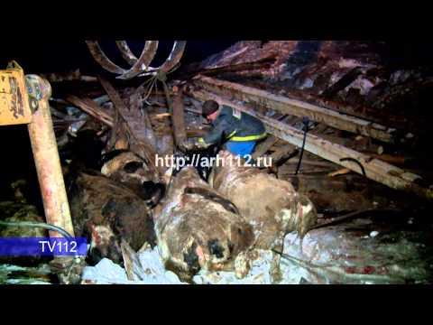 TV112 Более ста коров погибло при обрушении фермы в Онежском районе