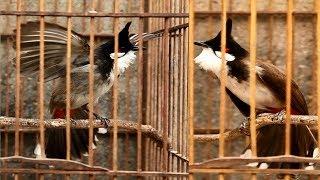 BEST NIGHTINGALE SONG - 3 Hours REALTIME Nightingale Singing - Birdsong, Birds Chirping