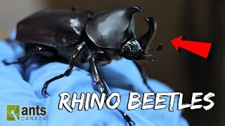 I Raised Massive Rhino Beetles