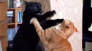 Funniest Cat Fight!