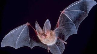Secrets and Mysteries of Bats - Nature Documentary