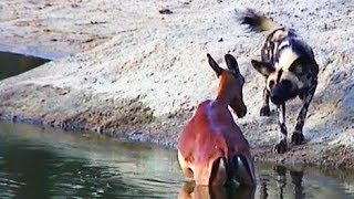 Wild Dogs Hunt & Kill Pregnant Impala