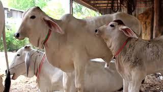 Cute cow, កូនគោស្អាតៗនៅកំពង់ចាម, Cute cow show, Cow videos for kids