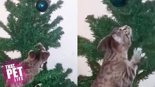 Cats vs Christmas Trees | Funny Cat Videos 2018 | That Pet Life