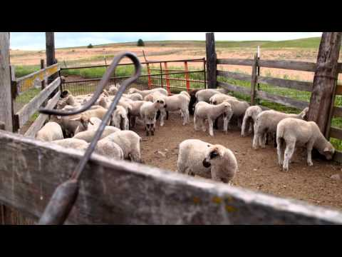 WaGrown Sheep S3E9: Feustal Farms