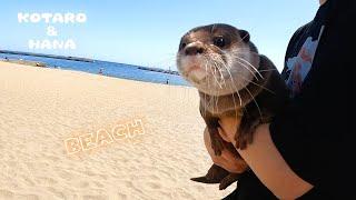 ビーチにやってきたカワウソが海に初挑戦! Otters Go to The Beach