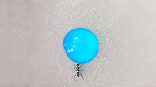 Ant drinking liquid candy (Time lapse)