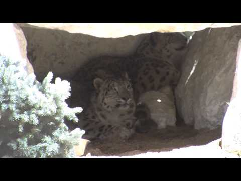 Snow Leopards at the Big Bear Alpine Zoo