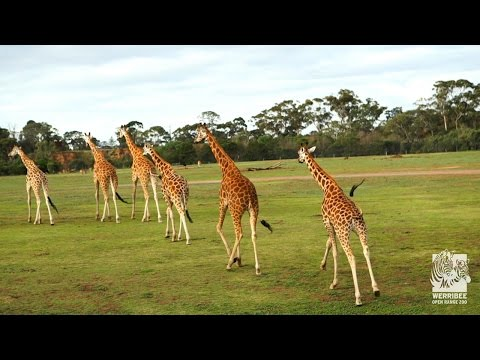 video Werribee Open Range Zoo