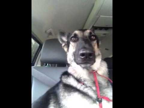 """Куче """"џуска"""" со ушите"""