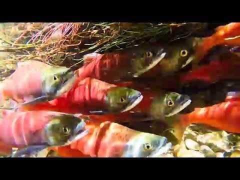 Kokanee Salmon Spawning at Causey Reservoir