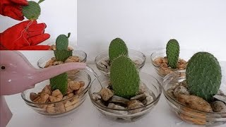 How to Propagate Cactus Leaf Cuttings in Water with Glass Bowl (Opuntia Leucotricha Propagation)
