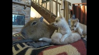 JoeJoe the Capybara and Puppies