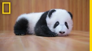 Raising Cute Pandas: It's Complicated   National Geographic