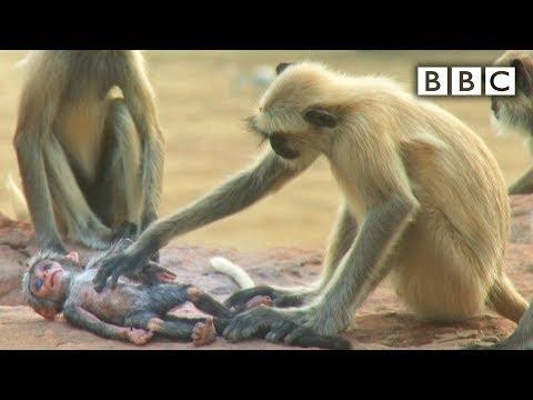 Mechanická opica vs opice