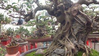 Nhiều sanh bám đá đẹp báo giá hợp lý - Price of bonsai trees