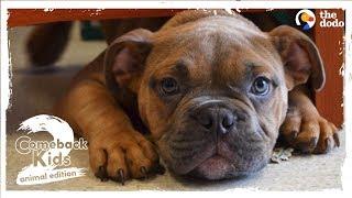 Abandoned Bulldog Teaches Himself How To Walk | The Dodo Comeback Kids S02E02