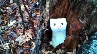 Ermine/Stoat in a Tree - Cute!