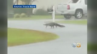 Alligator Spotted Crossing Road In Myrtle Beach