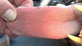 How Sharp Are Cheetah Tongues? | BIG CAT Licks Friends Arm Until Bleeds For Science