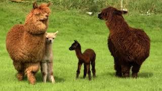 Alpacas, Lamas, Guanacos, Vicunas (HD1080p)