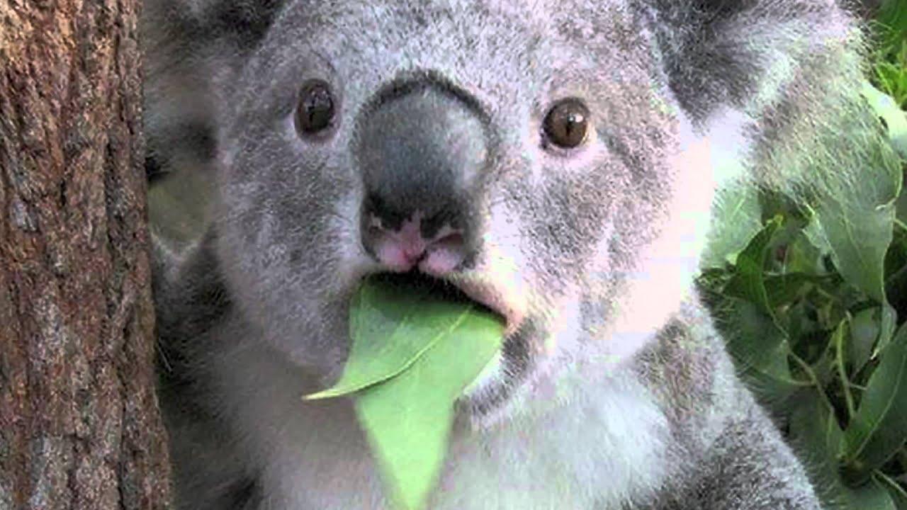 Koala Funny Meme Funny...