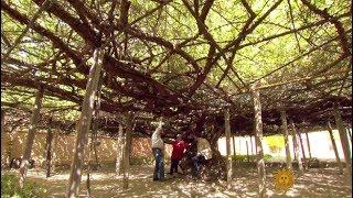 Shady Lady: The world's largest rose bush