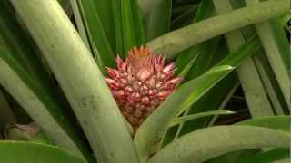 DOLE - Growing Pineapples