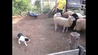 Primeiro contato com ovelhas, Bella - Canil Jucka Pitanga