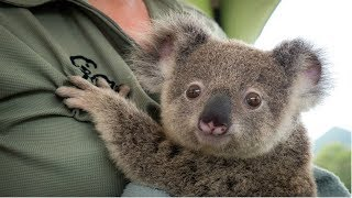 KOALA - A Cute Koala Videos And Funny Koala Bear Compilation || PETS And ANIMALS