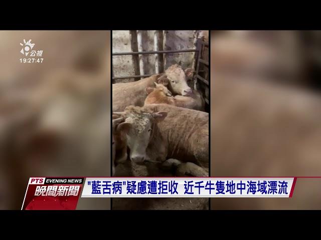西班牙900頭牛疑染病遭拒收 牲口船漂流2個月回港安樂死