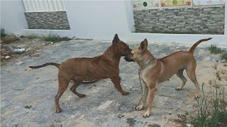 Chó Phú Quốc  tán tỉnh và kết thúc