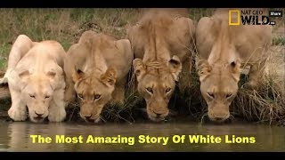 HD NatGeo Wild   White Lion   Documentary National Geographic